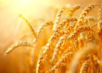 wheat investing